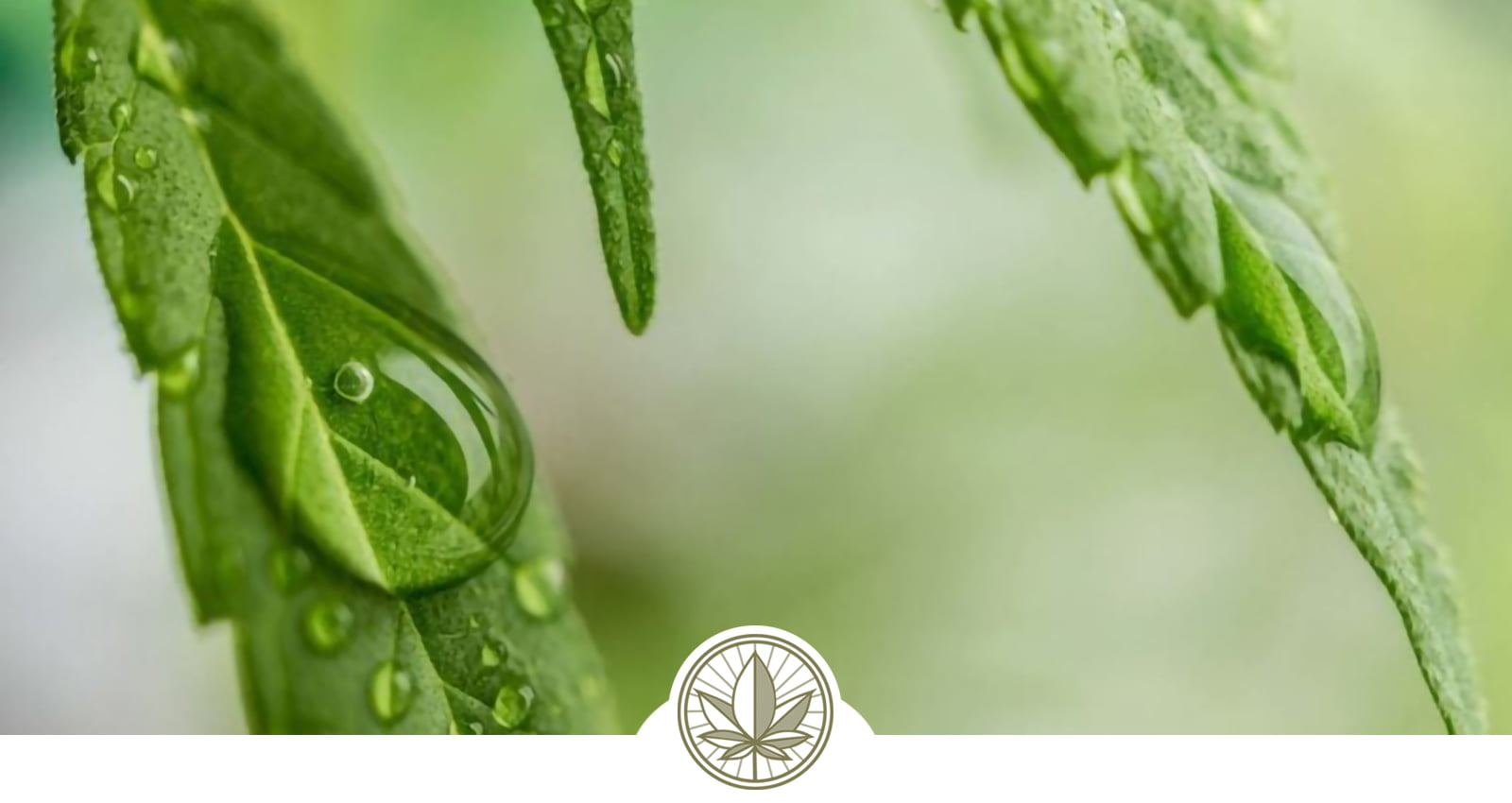 Cannabis Concentrates – A Glossary
